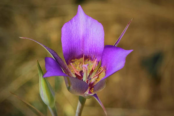 Photograph - Mariposa Lily by Albert Seger