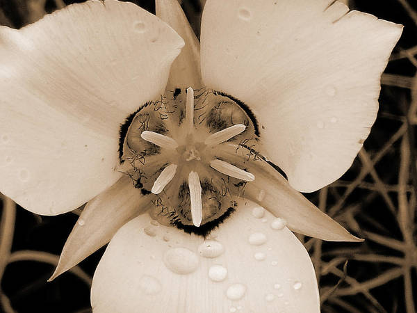 Photograph - Mariposa Lily Blossom by Cris Fulton