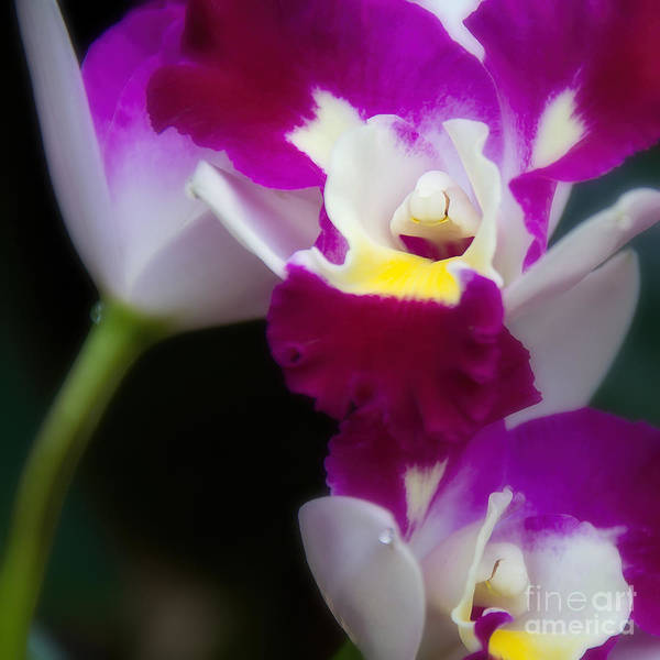 Photograph - Maris Magic Orchid by Jemmy Archer