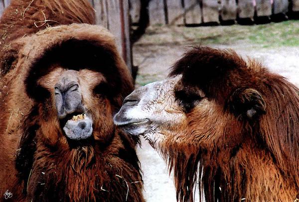 Photograph - Marital Strife Among Camels by Wayne King