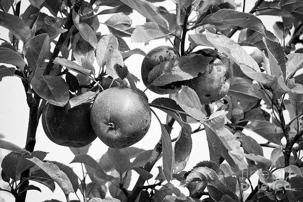 Wall Art - Photograph - Marks And Splitting On Home Grown Discovery Apples In A Garden In The Uk by Joe Fox