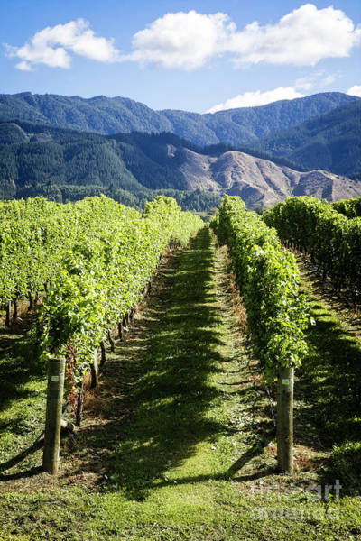 Photograph - Marlborough Vineyards by Scott Kemper