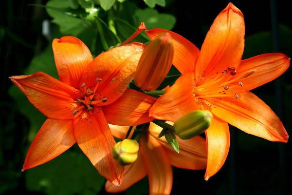 Marmalade Lilies Art Print