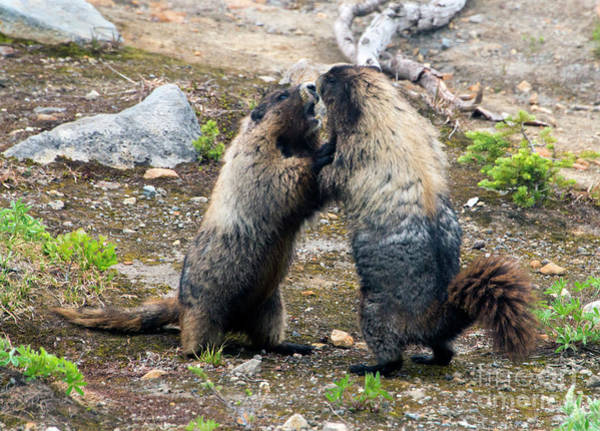 Wall Art - Photograph - Marmot Battle by Mike Dawson