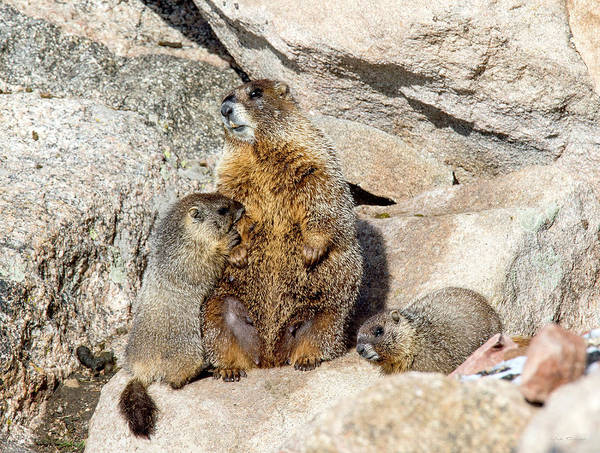 Photograph - Marmot Family by Judi Dressler