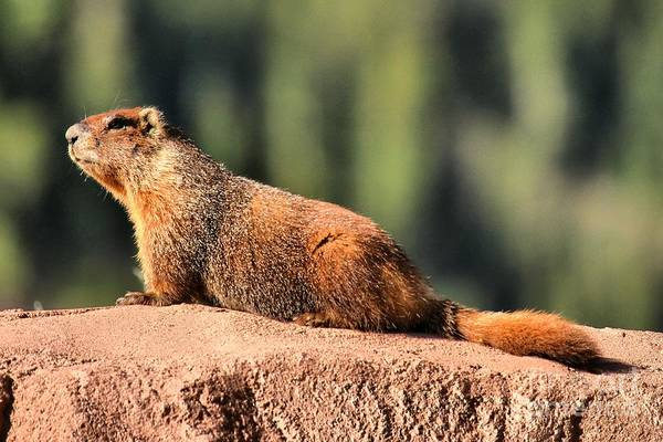 Photograph - Marmot In The Sun by Adam Jewell