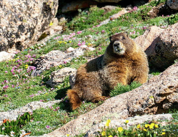Photograph - Marmot In The Wildflowers by Judi Dressler