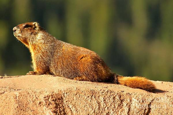 Photograph - Marmot Life by Adam Jewell