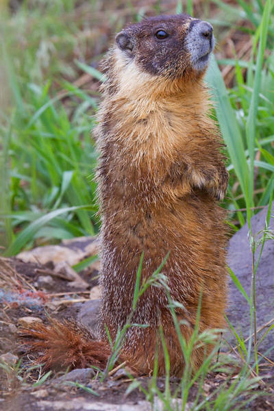 Critters Photograph - Marmot Love by Naman Imagery