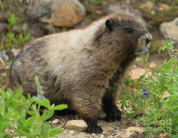 Rodents Photograph - Marmot Lunch by Mike Dawson