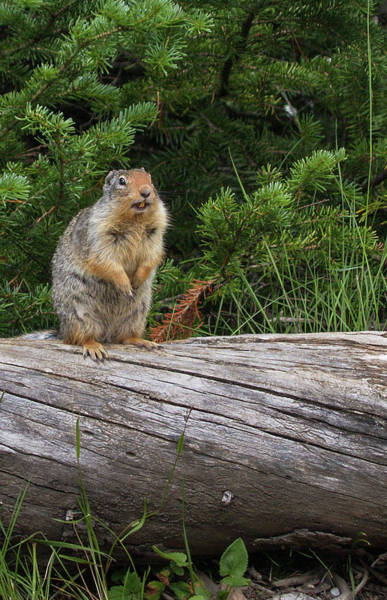 Photograph - Marmot On A Log by Adrian O Brien