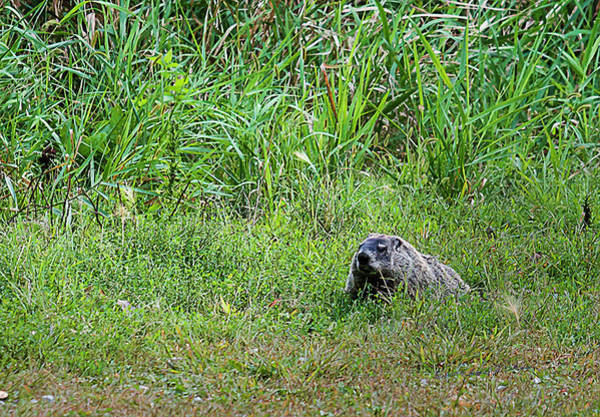 Photograph - Marmot On The Feed by Edward Peterson