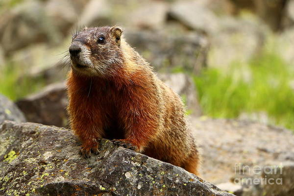 Marmot Photograph - Marmot On The Rock by Christiane Schulze Art And Photography