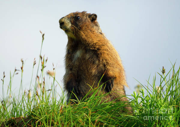 Wall Art - Photograph - Marmot Sentry by Mike Dawson