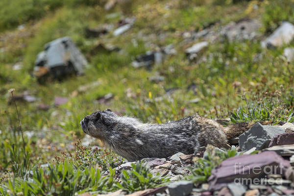 Photograph - Marmot Testing The Breeze by Jemmy Archer