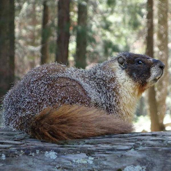 Photograph - #marmot #travel #sequoianationalpark by Patricia And Craig