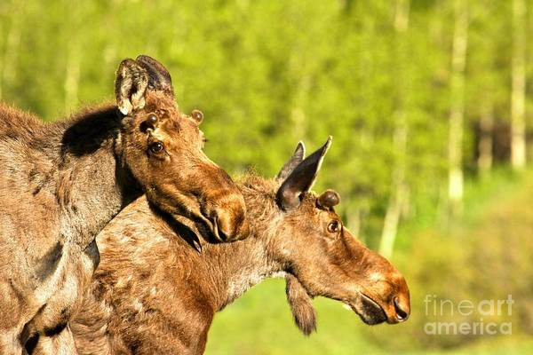 Photograph - Maroon Bells Moose Pair by Adam Jewell