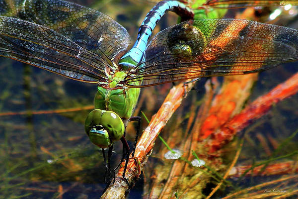 Photograph - Married With Children Dragonflies Mating by Reid Callaway