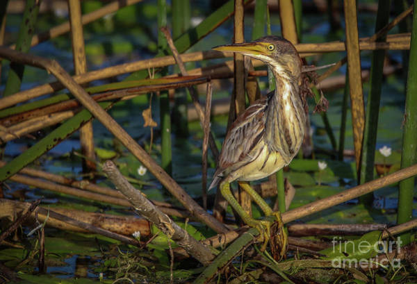 Photograph - Marsh Bittern by Tom Claud