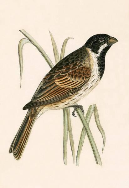 Marsh Bird Painting - Marsh Bunting by English School