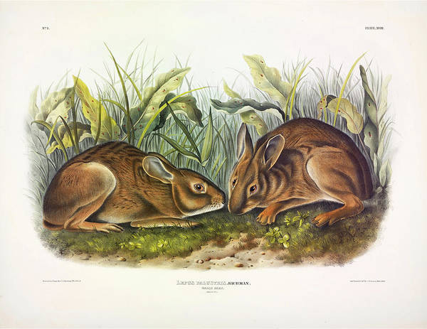 Marsh Bird Painting - Marsh Hare by John James Audubon