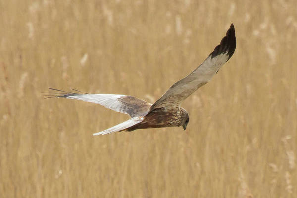 Photograph - Marsh Harrier Quartering by Wendy Cooper