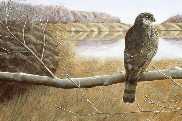 Wall Art - Painting - Marsh Hawk by Laurie Stewart