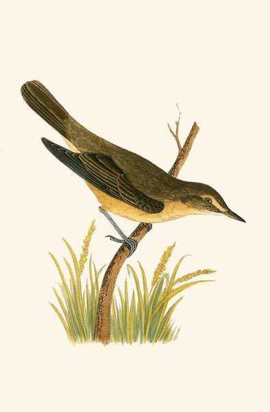 Marsh Bird Painting - Marsh Warbler by English School