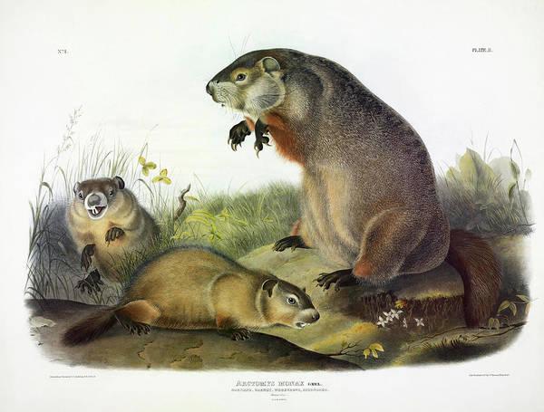 Groundhog Painting - Maryland Marmot, Woodchuck, Groundhog by John James Audubon