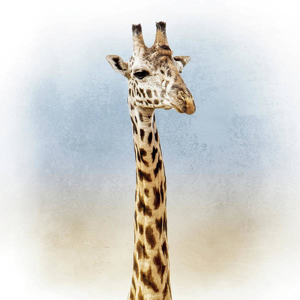 Wall Art - Photograph - Masai Giraffe Closeup Square by Susan Schmitz