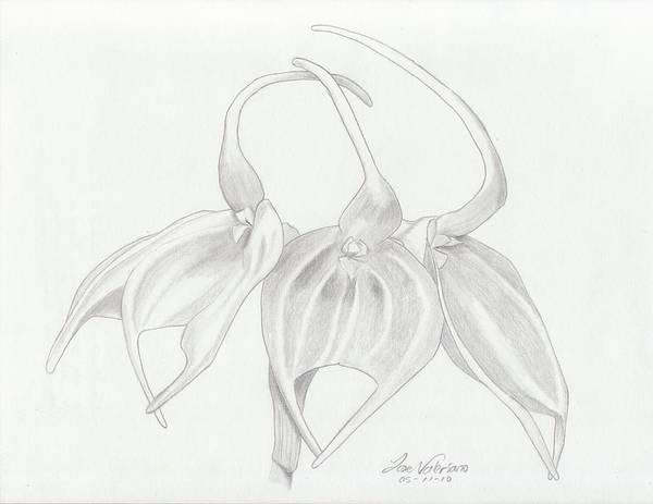 Drawing - Masdevalia Tovarensis Orchid by M Valeriano