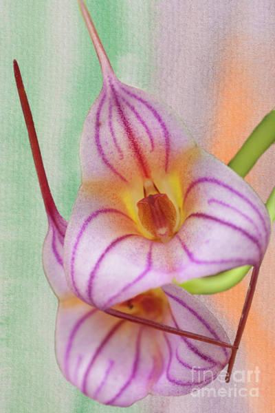 Photograph - Masdevallia Orchid Pink Stripes by Heiko Koehrer-Wagner