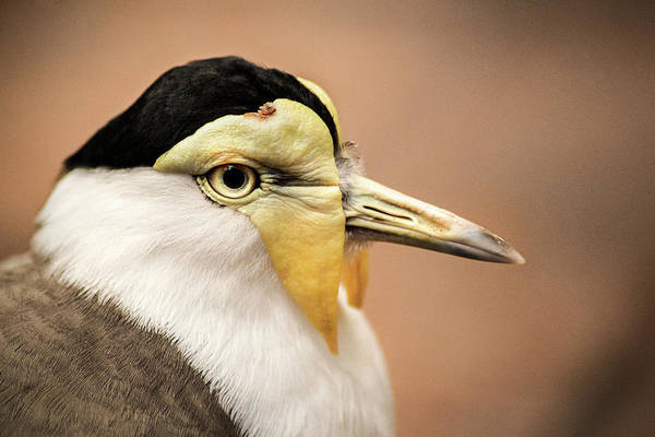 Photograph - Masked Lapwing by Don Johnson