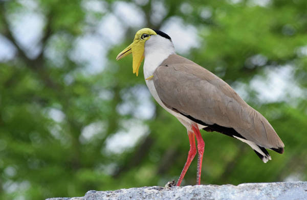 Photograph - Masked Lapwing by Larah McElroy