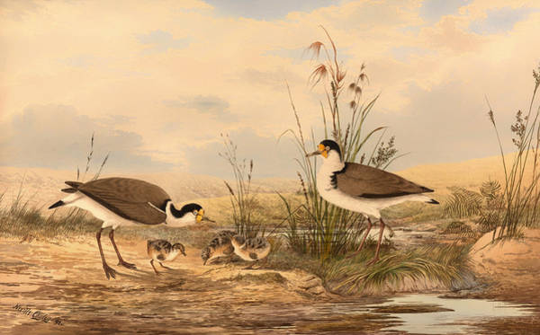 Lapwing Painting - Masked Lapwing by Mountain Dreams