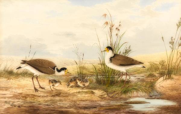 Lapwing Painting - Masked Lapwing, Vanellus Miles by Neville H P Cayley
