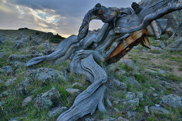 Photograph - Massive Bristlecone Pine At Sunset On Mt. Goliath by Ray Mathis