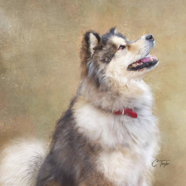 Husky Mixed Media - Master Of The Domain II by Colleen Taylor