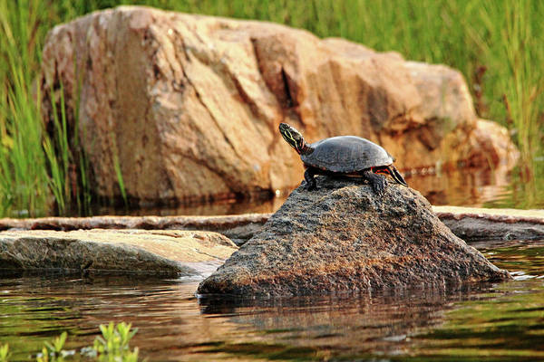 Painted Turtle Photograph - Master Of This Rock by Debbie Oppermann