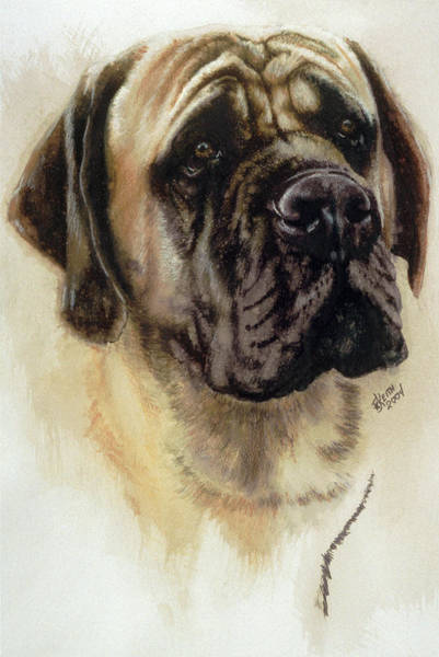 Painting - Mastiff In Watercolor by Barbara Keith