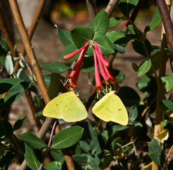 Sulfur Butterfly Wall Art - Photograph - Matched Pair Of Sulfur Butterflies by Douglas Barnett
