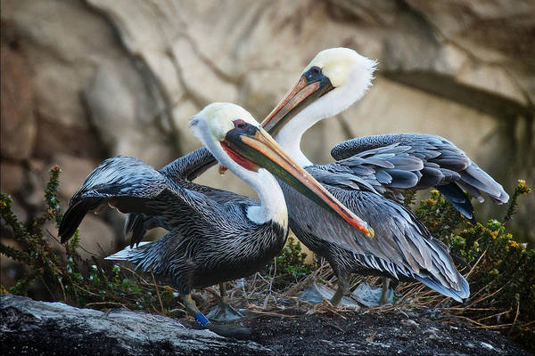 Photograph - Mates, California Brown Pelicans by Flying Z Photography by Zayne Diamond