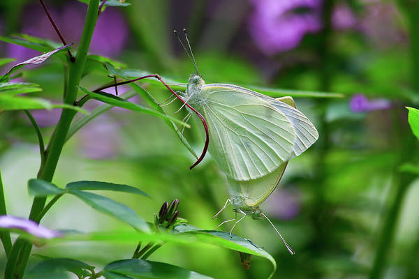 Photograph - Mating Butterflies by Jill Lang