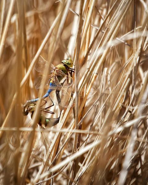 Wall Art - Photograph - Mating Dragonflies by Al  Mueller
