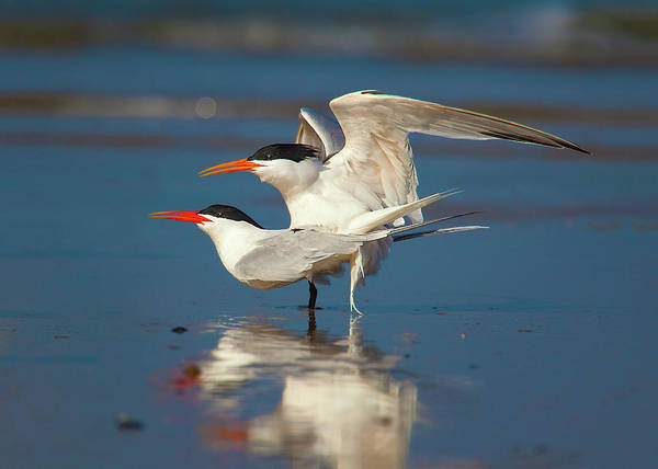 Tern Wall Art - Photograph - Mating Elegant Terns by Brian Knott Photography