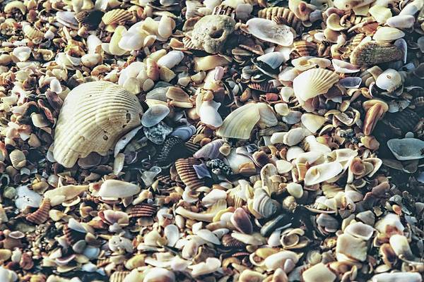 Photograph - Matted Shells On The Beach by Alice Gipson