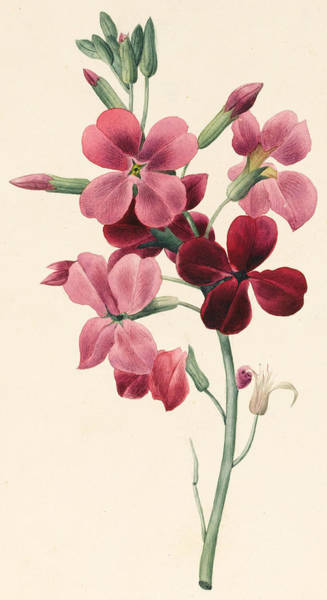 Floral Watercolor Drawing - Matthiola by Louise D'Orleans