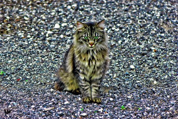 Photograph - Mattie The Main Coon Cat by Gina O'Brien