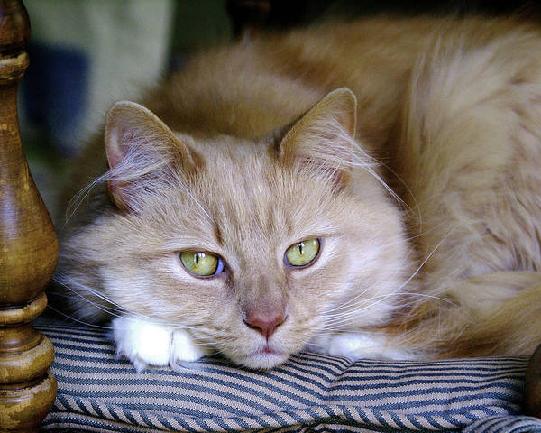 Photograph - Matty The Cat by Ben Upham III