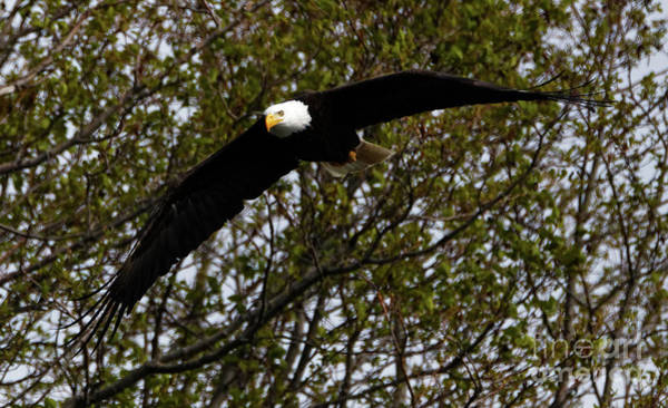 Photograph - Mature Bald Eagle by Sue Harper